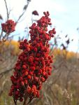 sumac in its native state (photo from wikipedia)