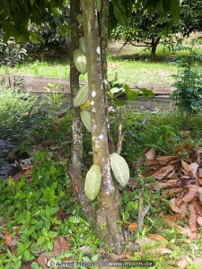 cocoa tree (photo from molon)
