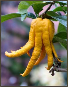 buddas hand citron (photo from treknature)