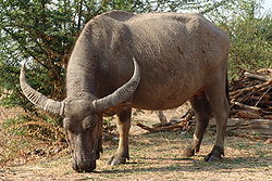 Water Buffalo (photo from Wiki)