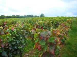 chalon-grapes